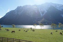 Die Sonne schmolz den Schnee weg - was die Rinder freute.