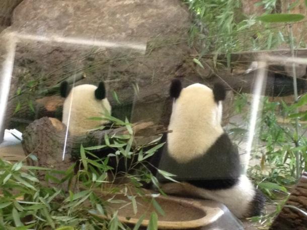 Die Pandas - die Stars des Tiergarten Schönbrunns.
