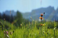 Saftige Almwiesen in Südtirol.