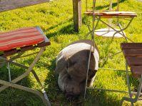 """Auch dieses Schwein fühlt sich auf der Allmein-Alpe """"sauwohl""""."""