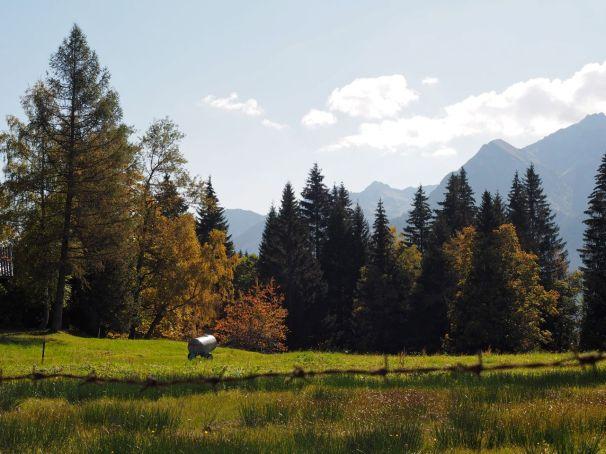 Die Alpe Rona dient im Sommer Mutterkühen als Weide.