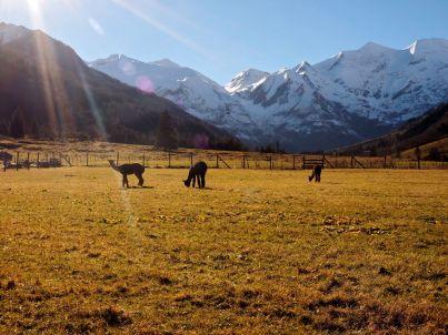 Auch Alpacas fühlen sich in Ferleiten wohl.