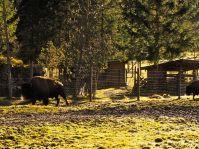 Bisons im Wildpark. Beeindruckende Kolosse.