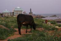 Auch in Kanyakumari sind die heiligen Kühe allgegenwärtig