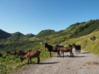 Auf der Portal-Alpe erwartete uns bereits eine Ziegenherde.
