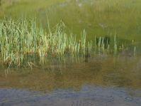 Viele kleine Fische tummeln sich im Sünser See.